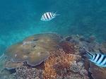 ヤサワ諸島 ナズラ島 ナロバ湾 サンゴ礁シュノーケリング3