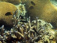ヤサワ諸島 ナズラ島 ナロバ湾 サンゴ礁シュノーケリング2