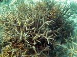 ヤサワ諸島 ナズラ島 ナロバ湾 サンゴ礁シュノーケリング8