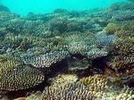ヤサワ諸島 ナズラ島 ナロバ湾 サンゴ礁シュノーケリング5