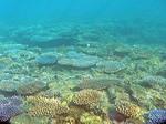 ナビティ島シュノーケリング:珊瑚畑 コーラルガーデン