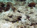 ブルーラグーン シュノーケリング 浅瀬で珊瑚を食べる魚