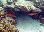 ブルーラグーン シュノーケリング 波に負けないように隠れる魚
