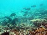 ブルーラグーン シュノーケリング 浅瀬で珊瑚を食べる魚3