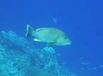 ハッタ島の水中写真4 でっかい魚
