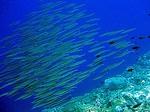 ハッタ島の水中写真5 青魚の群れ
