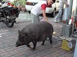 台南の街をうろうろし始める黒豚