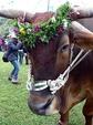 プユマ式結婚式の牛車の牛