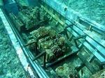 故障した沈没船の中で育つサンゴ