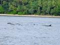 ハッタ島でシュノーケリング1:イルカの群れがお出迎え。