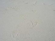 スネークアイランドについたペリカンの足跡