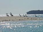 スネークアイランドに飛来したペリカンの群れ ズーム