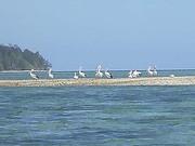 ゴダン島の前にできた島にペリカンの群れ