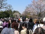 皇居 乾通りの桜並木
