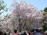 皇居 乾通りの桜 最もきれいだったしだれ桜