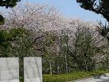 千鳥ヶ淵の桜並木 戦没者霊園から撮ったもの