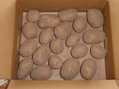 カルビー収穫祭2018 ジャガイモ