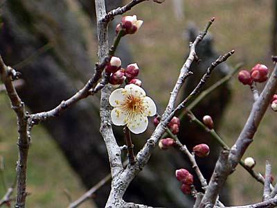 2012年の成田山の梅 1分咲き