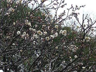 成田山公園 梅園 五分咲きの梅