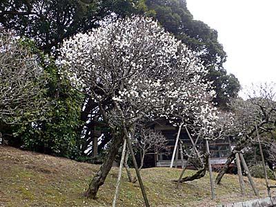 成田山公園 梅園 五分咲きの梅の木