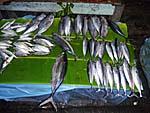 サバンの港の取れたての魚