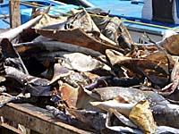 鮫などの皮を漁船の上で干しているところ