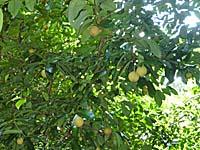 アイ島のナツメグの木