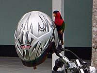 アンボンにいたカラフルな鳥