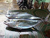 魚市場の魚 マグロ