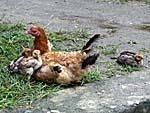 アイ島の鶏親子