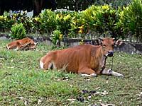 アイ島の飼い牛