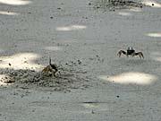 ナセパ海岸の蟹