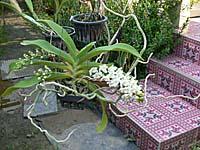 ランの鉢植え
