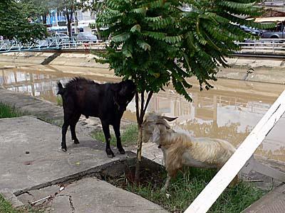 サムチュック100年市場の入り口にいた山羊。食事に夢中。