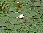 南湖公園の睡蓮の花
