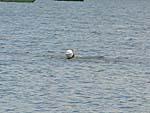 南湖公園で泳いでいるおじさん