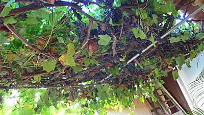 トリニダーの家の中庭のブドウ棚:ブドウが鈴なり。