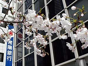 東京 八重洲の桜