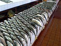 ずらっと並んだ魚