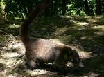 ティカルの敷地内をさまよっていたハナアナグマ