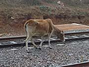 オルチャ駅を根城にした牛