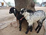 村のあちこちで飼われている山羊