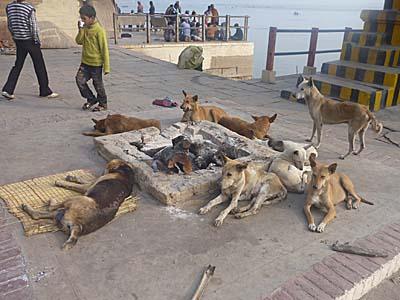 寒さのあまりたき火の炭で暖を取る犬。