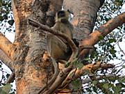 シルバーデビルっぽい猿。