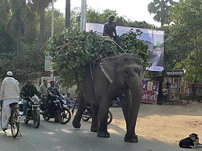 ブッダガヤ周辺を歩く象