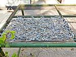 イカンアシン 干し魚