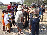 牛を竹竿で運ぼうとしているところ