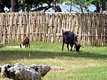 悠々と草をはむ牛