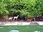 引き潮に合わせて島を渡り歩く山羊