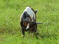 リゾートに入り込んでいる周辺の村の子牛